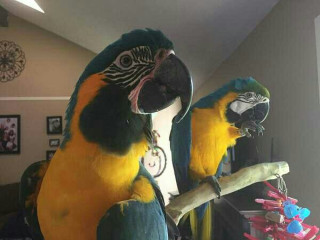 Talking Macaw blue and gold for adoption fee