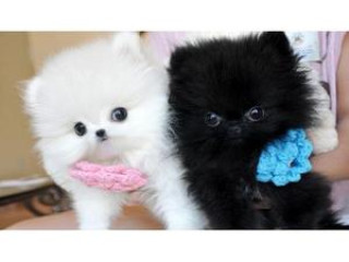 Good Looking Pomeranian Pups For Sale