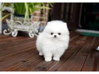 Teacup Size Pomeranian Puppies For Good Homes