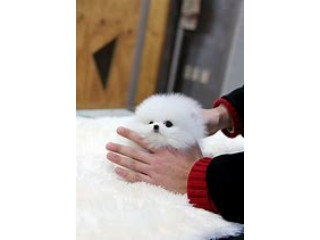 Gorgeous Pomeranian Puppies Available Now