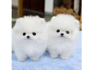 Pomeranian puppies looking forever home