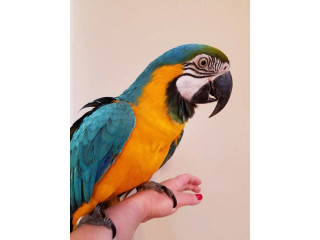 Active male and female Macaw parrots