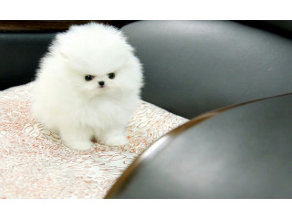 T-Cup Pomeranian Puppies