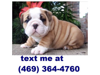 Zamao English Bulldog Pups Available for sale