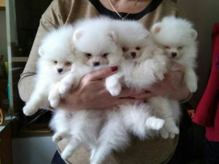 Charming Pomeranian puppies ready now