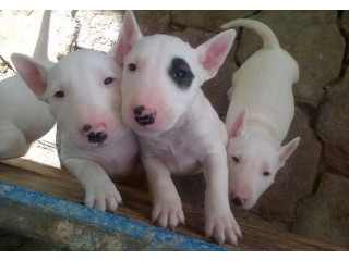Outstanding bull terrier pups on sale
