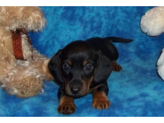 Home raised dachshund puppies now ready