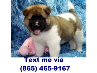 Sweet akita puppies ready