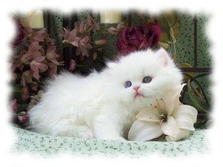 Cute Persian Kittens Available For Sale Now
