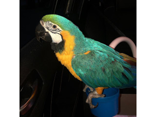 Baby Blue and Gold Macaw Available