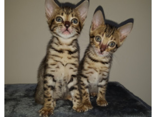 Lovely F1 F2 and F3 Savanna Kittens
