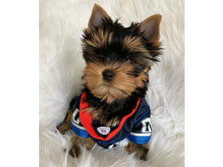 Teacup Size Yorkie Puppies For Good Homes