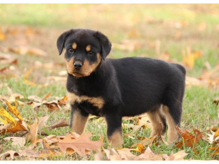 Rottweiller Pups For Sale