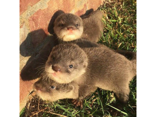 Available Asian small clawe otters puppies for adoption.