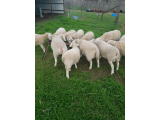 87 heads white Dorper sheeps available now very healthy Message 9782268783
