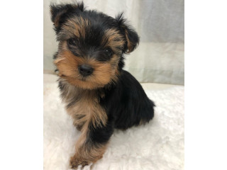 Teacup Size Yorkie Puppies For READY FOE SALE