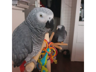 African Greys For Sale