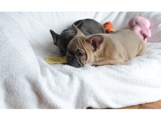 Pure breed French bulldog puppies