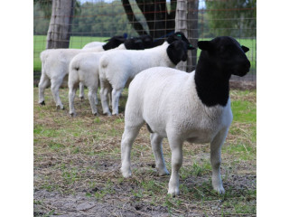 Dorper rams and ewes . Young once Text or call 252-325-8765