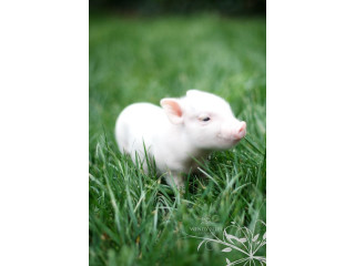 Mini Piglets available and ready to go for more info 2523258765
