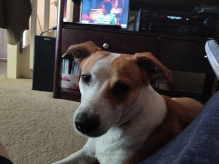 Jack Russel Mix 30 lbs-Free