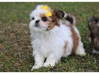 Shih Tzu Puppies For Caring Homes