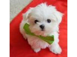 Two Beautiful Maltese Puppies For Sale