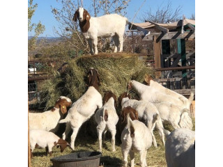Boer Goat,Anglo Nubian,Nigerian Dwarf,Saneem Goat for milking and beef/pet text 5624493858