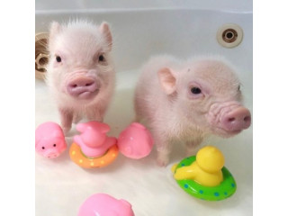 Mini Piglets available and ready to go for more info text 5624493858