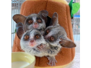 Bush baby for home pet Reach us at 5624493858