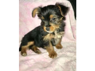 Lovely Yorkie puppies Ready For A New Home