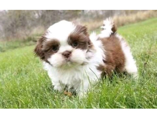 Dope Shih Tzu Puppies Ready Now For A New Home