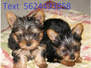 Yorkie Puppies Available for sale for more info text 5624493858