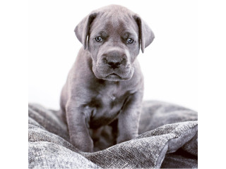 Purebred Great Dane Puppies For Sale
