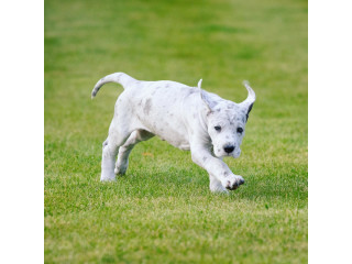 AKC REG. GREAT DANE PUPPIES READY