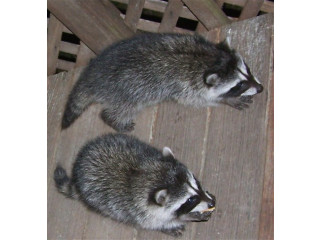 BABY RACCOONS For Sale