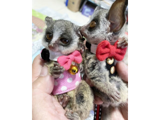 Bush Babies For sale