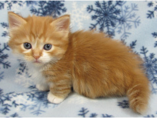 Healthy Munchkin Kittens for adoption