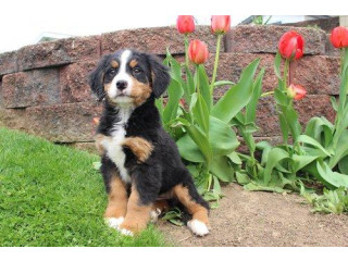 Beautifu bernese mountain puppies