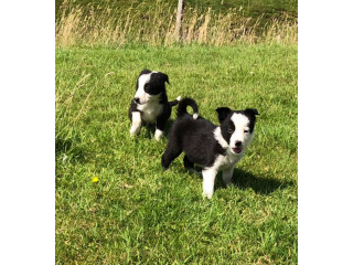 Cachorros Border Collie