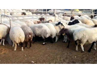 Awassi sheep (Fat Tail) for sale text or call; 5624493858