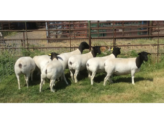 Dorper rams and ewes . Text or call 5624493858
