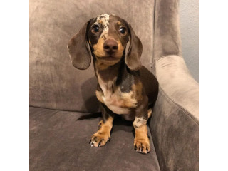 Dachshund puppy available for rehoming text 5624493858