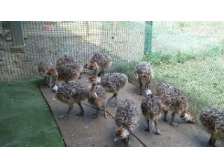 Emu ,Ostrich and Rhea chicks,hatching eggs,birds for Sale