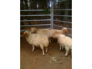 Fat Tail Awassi Sheep for Sale
