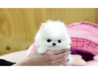 T-Cup Pomeranian puppies for Good Homes