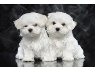 Maltese puppies available now