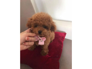 Two Poodle Puppies available