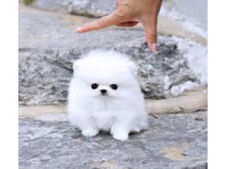 Ice White Pomeranian puppies