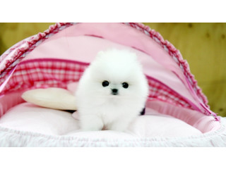 Pomeranian puppies for Good Homes